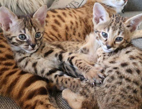 Er zijn F3 kittens geboren