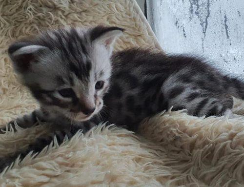 Er zijn F2 kittens geboren